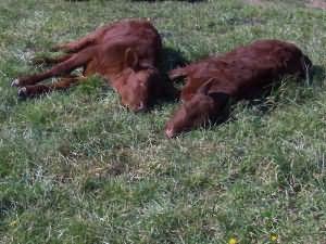к чему снится стадо бегущих коров