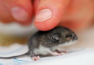 мышка во сне