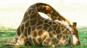 сонник жираф маленький