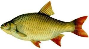 Сонник Живая рыба, к чему снится живая рыба во сне