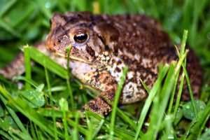 к чему снятся жабы