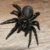 сон большой черный паук