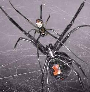 сон пауки черные большие