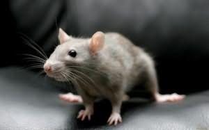 Сонник Убить крысу, к чему снится убить крысу во сне