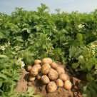 огород с картошкой