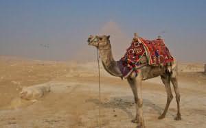 мусульманский сонник верблюд