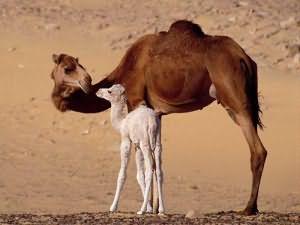 чему снятся верблюды сонник