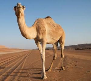 сонник верблюд значение