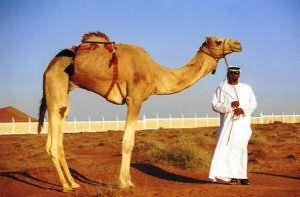 верблюд сонник