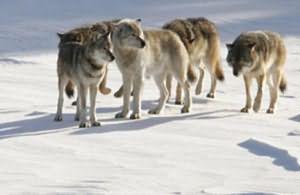 сонник к чему снится стая волков