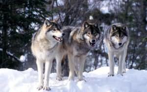 к чему снится стая волков во сне