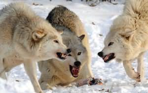 к чему снится стая волков нападающих