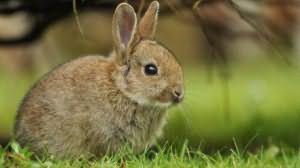 к чему снится заяц большой