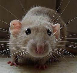 убивать во сне крыс