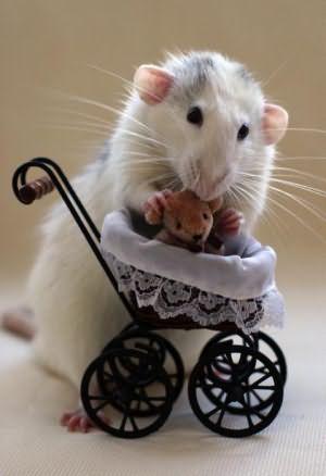 во сне убить черную крысу