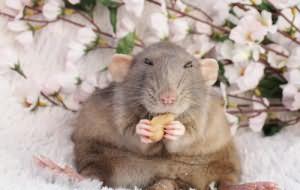 сонник убить крысу во сне