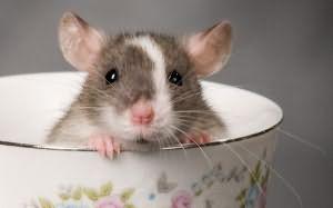 убить белую крысу во сне