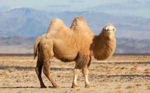 к чему снятся бараны на верблюде
