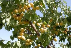 сонник абрикосы видеть