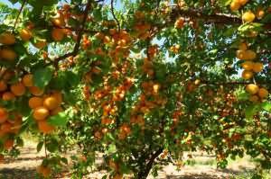 сонник абрикосы спелые