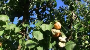 сонник зеленые абрикосы