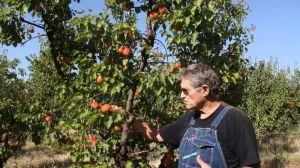 сонник к чему снятся абрикосы