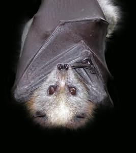 к чему снятся летучие мыши