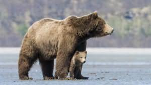 сонник убегать от медведя