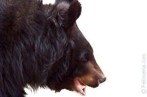 Медведь гонится по соннику
