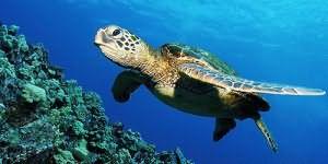 черепаха в воде во сне
