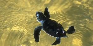 маленькая черепашка в воде