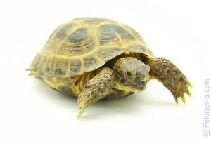 Черепаха в воде по соннику