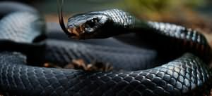 сонник черная змея