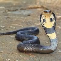 к чему снится кобра