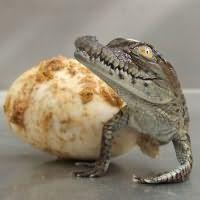 к чему снится крокодил маленький