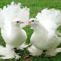 к чему снится мертвый голубь