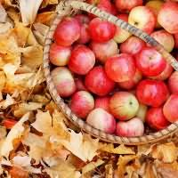 к чему снится собирать яблоки с дерева