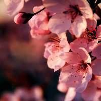 к чему снится вишня ягоды