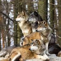 к чему снятся волки