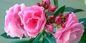 к чему снятся комнатные цветы