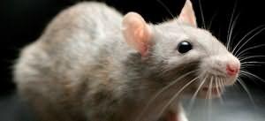 к чему снится крыса нападает
