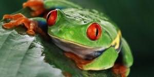 к чему снится лягушка