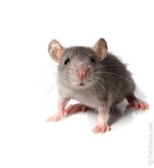 Мышь черная по соннику