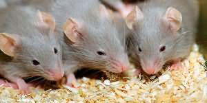 сонник мыши крысы