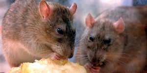 мыши и крысы во сне
