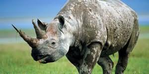 сонник носорог