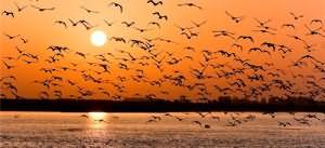 сонник птички