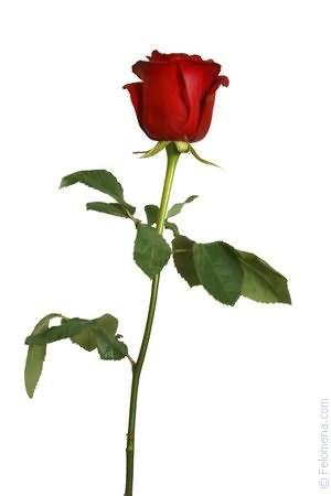 Розы розовые по соннику