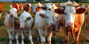 сонник стадо коров