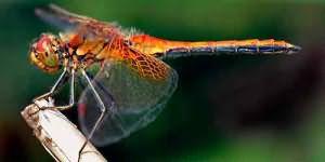 сонник стрекоза